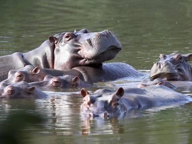 """EEUU: Dan estatus de """"persona"""" a hipopótamos de Pablo Escobar"""