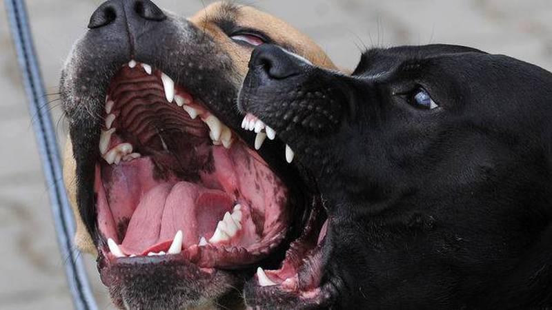Un pitbull como éstos fue apuñado en Argentina.