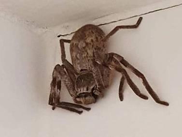 Mujer acude al médico por dolor de oído y descubren la espeluznante causa: tenía una araña viva