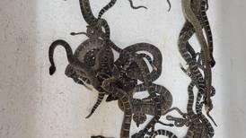 Descubren casi 100 serpientes cascabel debajo de la casa de una mujer